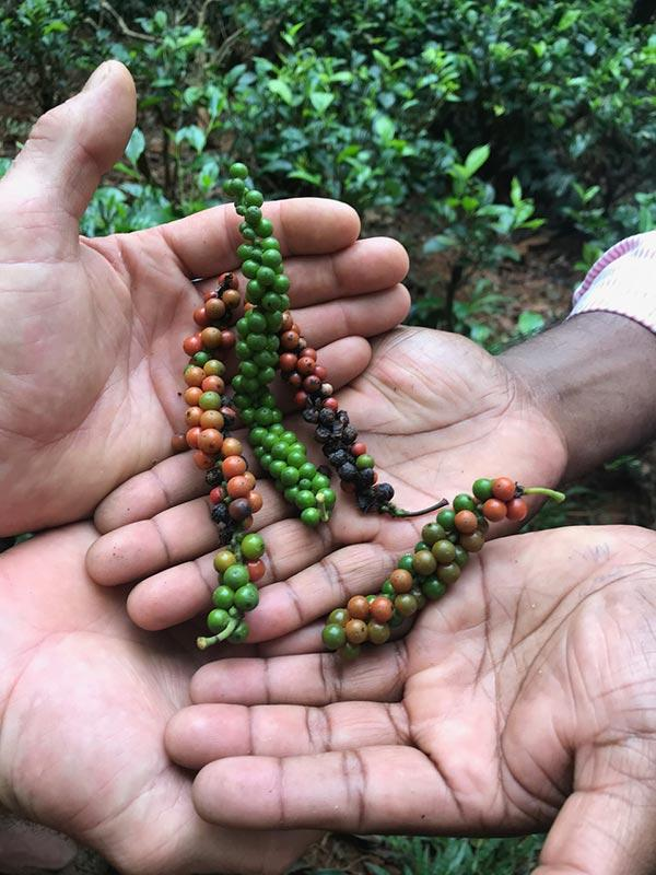 Fair Trade Black Pepper Sri Lanka