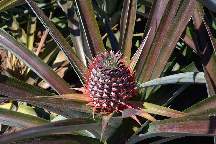 Pineapple Flower