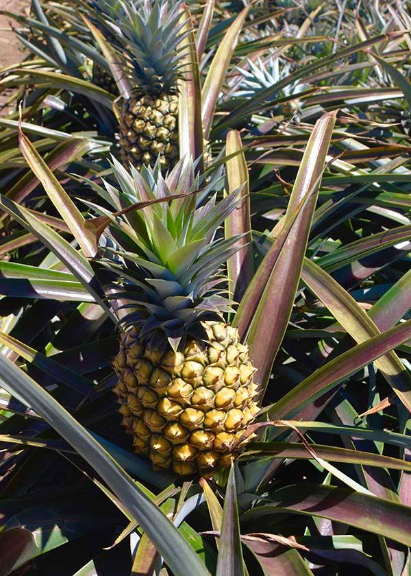 Organically Grown Pineapple Plant South Africa