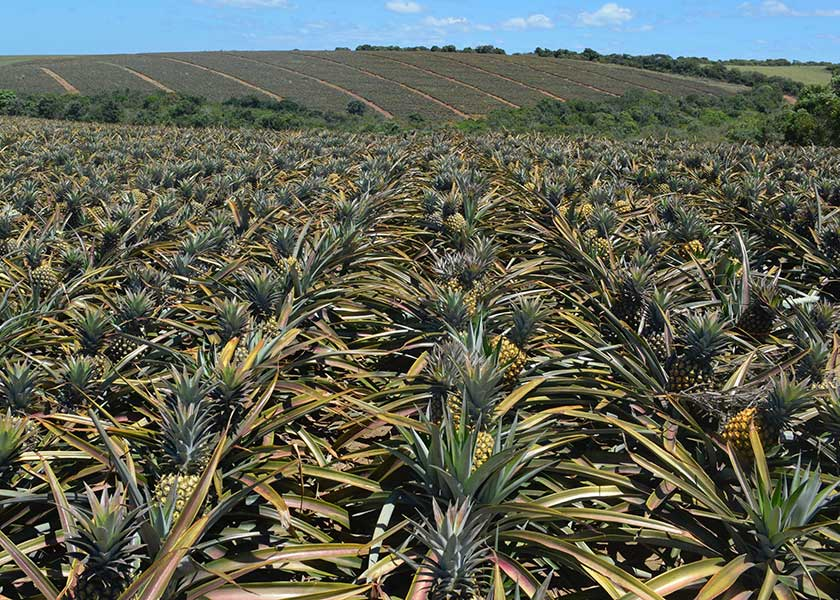 Field of Ripe Pineapple