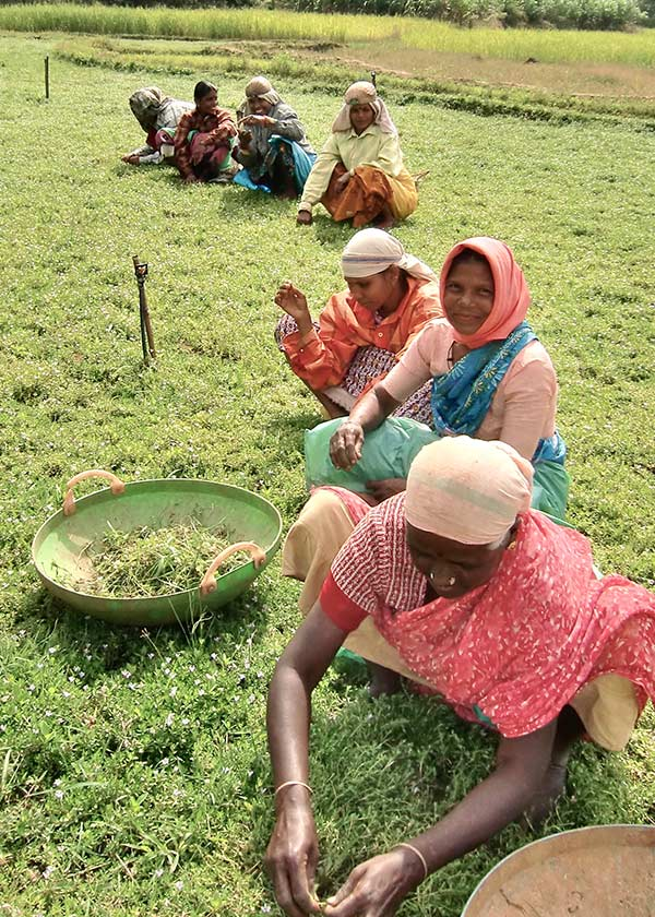 Indian Women Harvesting Herbs